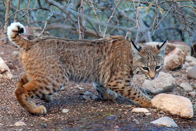 Bobcat--DougVonGausing